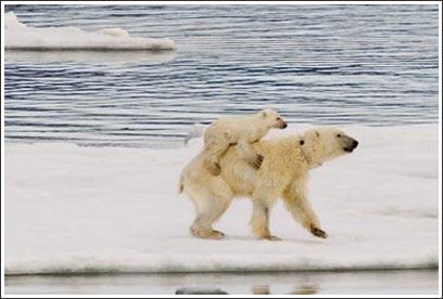 Hình ảnh hiếm hoi về gấu trắng cõng con ở Bắc Cực