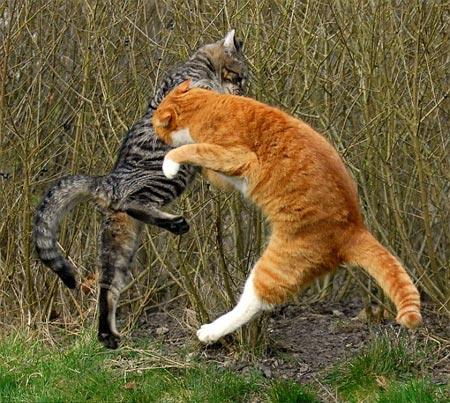 Mèo múa võ