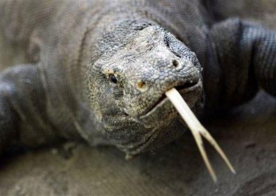 Rồng Komodo có nguồn gốc từ Úc
