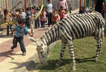 Lừa biến thành ngựa vằn