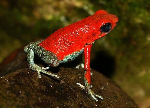Anh em nhà ếch trở thành sinh vật cảnh