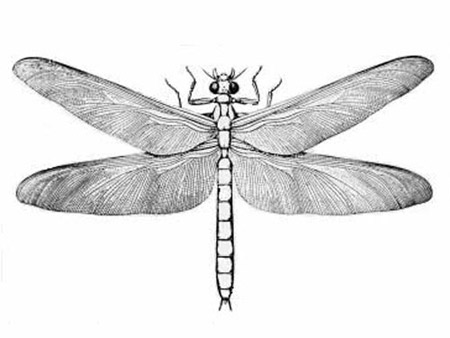 Ảnh minh họa chuồn chuồn cổ đại có sải cánh 70 cm. Ảnh: