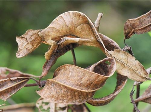 Thằn lằn ngụy trang lá mùa thu