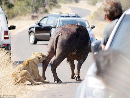 Sư tử tấn công trâu nước trên phố