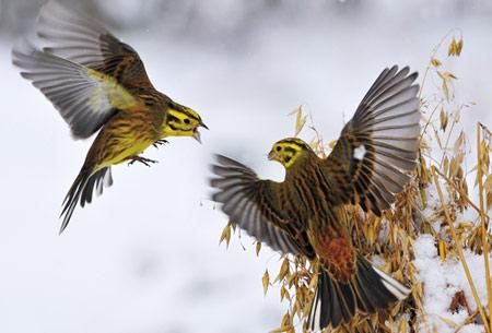Chim cổ vàng đực đang chiến đấu bảo vệ thành quả yến mạch. Tấm ảnh giành giải Nhiếp ảnh gia trẻ của năm. Ảnh: BBC.