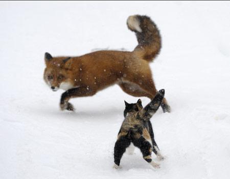 Con mèo của nhà nhiếp ảnh đang bảo vệ lãnh địa. Ảnh đạt giải Cuộc sống hoang dã vườn và thành thị. Ảnh: BBC
