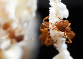Loài kiến toàn kiến cái