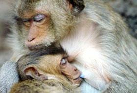 Khỉ nựng con giống hệt người