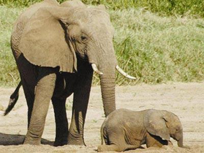 Còn 10 con voi hoang dã tại Đồng Nai