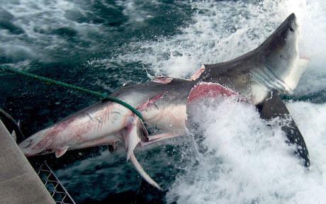 Cá mập xơi cá mập