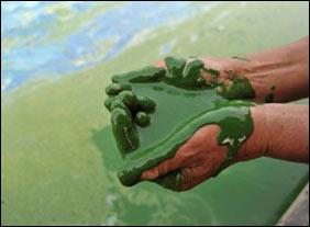 Nhiên liệu sinh học tuyệt vời từ tảo