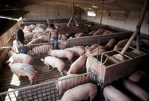 Biến phân lợn thành điện năng