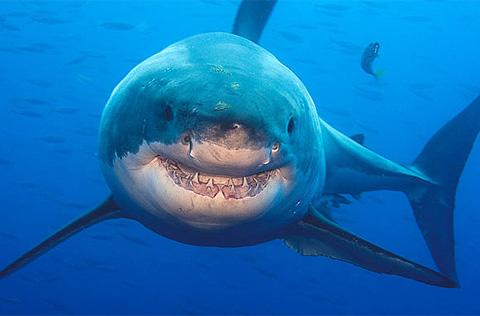 Đối mặt cá mập trắng
