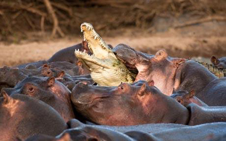 Hà mã trừ khử cá sấu