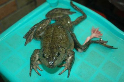 Tìm thấy con ếch 7 chân