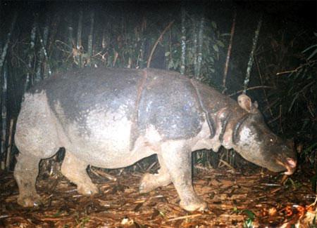 Tín hiệu về tê giác một sừng quý hiếm ở Việt Nam