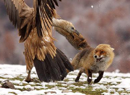 Chim dọa cáo