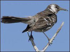 Loài chim nhại quý hiếm