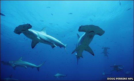Vén bức màn bí ẩn về cá mập đầu búa