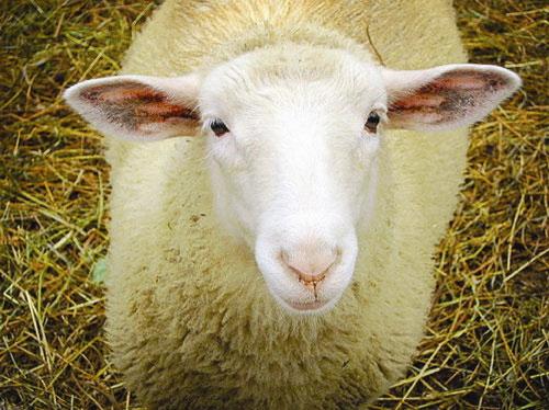 """Tìm giống cừu """"xanh"""" ít ợ hơi"""