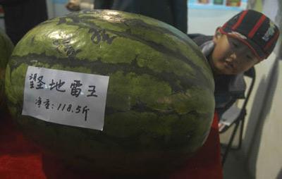 Quả dưa hấu nặng gần 60kg