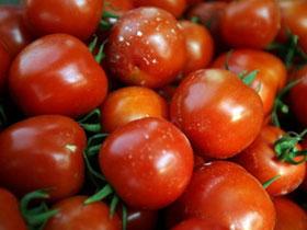 Ghép thành công cà chua trái vụ cho hiệu quả cao