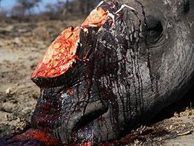Nạn săn bắt tê giác gia tăng ở châu Á, châu Phi