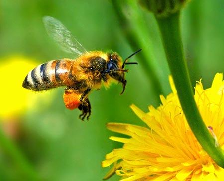 Ong có vũ điệu báo hiệu tử thần