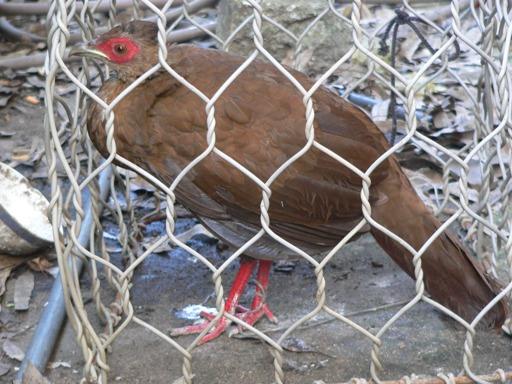 Phát hiện loài gà lôi lam mào trắng bị xem là đã tuyệt chủng