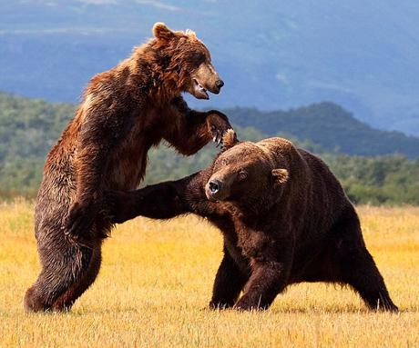 Cận cảnh cuộc chiến của gấu nâu