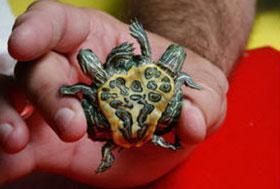 Con rùa 2 đầu, 6 chân