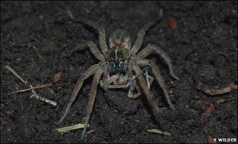 """Vì sao nhện cái ăn thịt bạn tình sau khi """"vui vẻ""""?"""