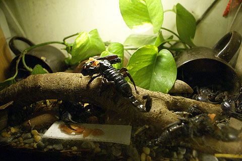 Nuôi bọ cạp đen làm cảnh là thú chơi nguy hiểm