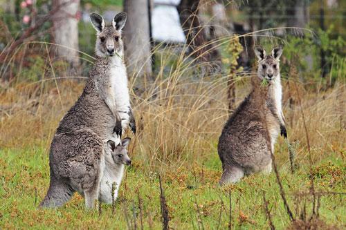 Nông dân Australia muốn tiêu diệt loài chuột túi