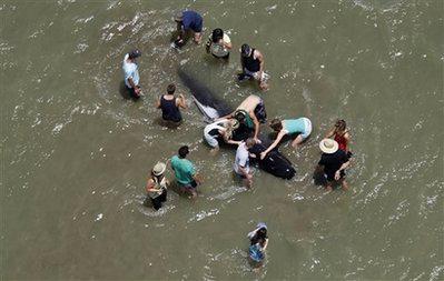 Hàng trăm cá voi mắc cạn tại New Zealand