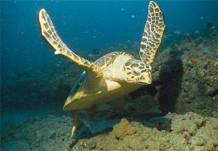 Thay đổi lưỡi câu cá ngừ để cứu rùa biển
