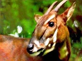 Hơn 72.000 USD bảo tồn Sao La, thú móng guốc