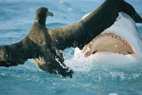 Cá mập hổ bắt chim hải âu