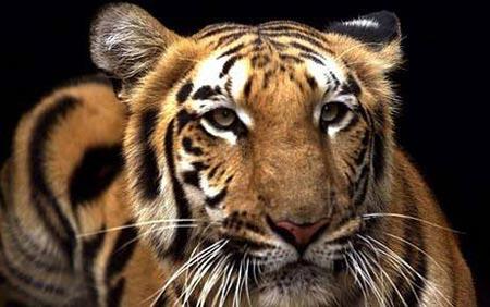 Hổ đứng đầu danh sách bị đe dọa năm Canh Dần