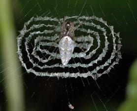Mạng nhện càng đẹp càng 'độc'