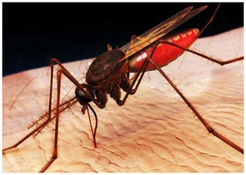 Muỗi 'hát' để tìm bạn đời