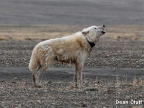 Giải mã bí mật về cuộc sống của loài sói Bắc Cực