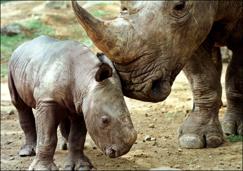 Tê giác có nguy cơ tuyệt chủng cao nhất