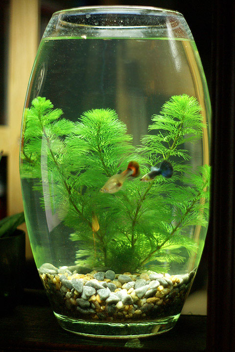 """Phần lớn thời gian trong ngày, kể cả khi đã mang thai, cá bảy màu cái (có màu đỏ) luôn bị theo đuổi bởi cá đực (màu đen) bởi loài này có tập tính """"thúc đẻ""""."""