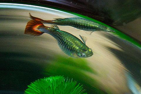 """Sau khi thụ thai 20 đến 30 ngày, cá mẹ mang một """"bụng bầu"""" có thể chứa tới 50 cá con và đã sẵn sàng cho việc sinh nở."""