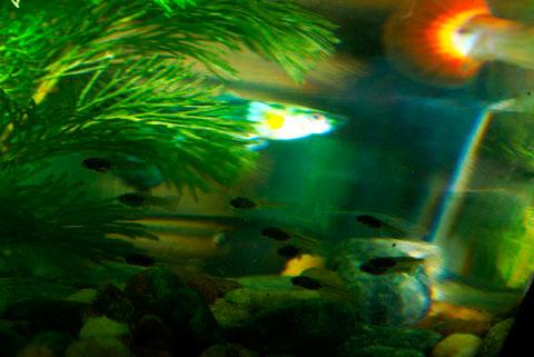 Trớ trêu thay, với tập tính ăn con, kẻ thù đầu tiên của cá bột chính là cá bố mẹ.