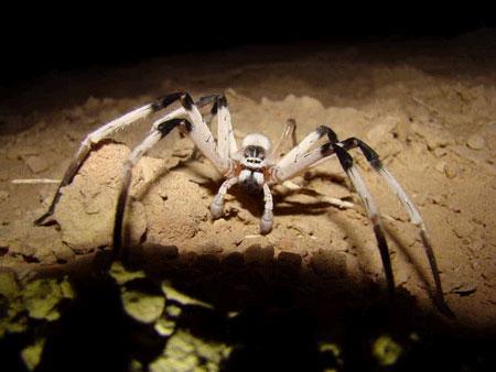 Phát hiện loài nhện mới khổng lồ ở Trung Đông