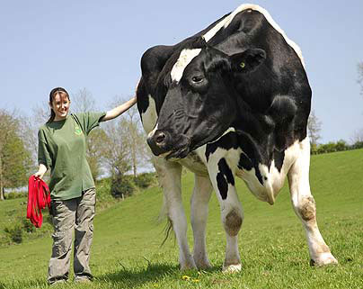 Thế giới sắp tái sinh một giống bò đã tuyệt chủng