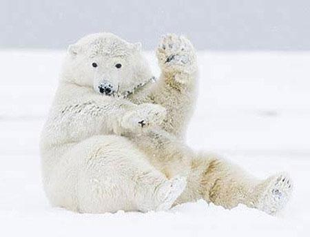 Gấu trắng tạo dáng trước máy ảnh