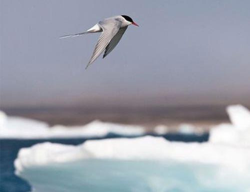 Nhạn biển bắc cực - quán quân đường bay di trú